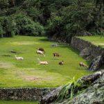 Lamas am chillen in Machu Picchu