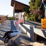 Pelikan-Fütterung