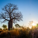 Boab Tree bei Licht