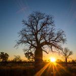 Boab Tree im Dunkeln