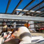Eingesperrte Ente