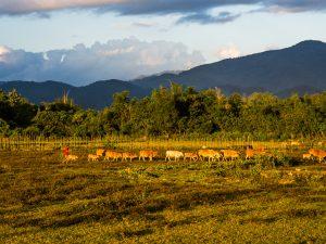 Viele Muh-Kuhs