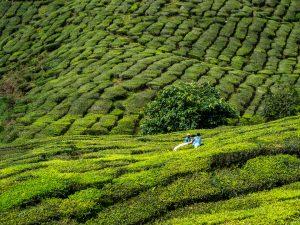 Arbeiter beim Ernten des Tees