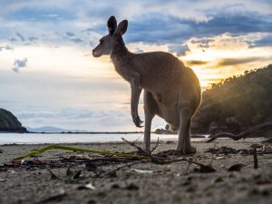 Känguru beim Sonnenaufgang