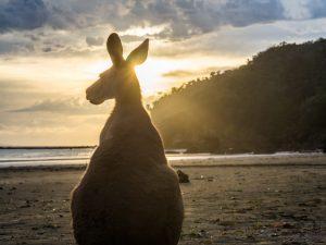Auch Kängurus schauen sich den Sonnenaufgang an