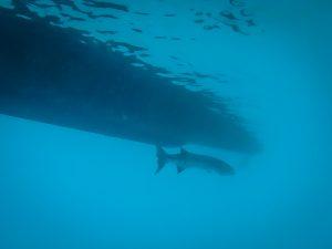 Barrakuda unter unserem Boot