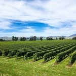 Weinanbaugebiet in Blenheim