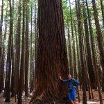 Redwood...ganz schön groß