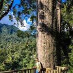 Jug neben einem gigantischen Kauri-Baum