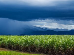 Gewitter über den Zuckerrohrfeldern