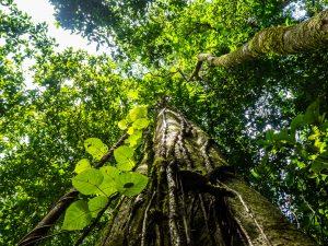 Riesenbäume im Dschungel