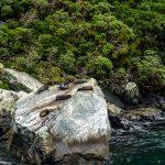 Robben im Milford Sound