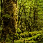 Moos-Wald auf dem Weg zum Milford Sound