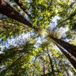 Baumwipfel im Redwood-Wald