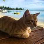 Minzekatze auf Aitutaki