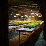 Unterirdische Basilikum-Farm