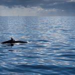 Seltenes Glück: ein Brydewal nah an der Küste